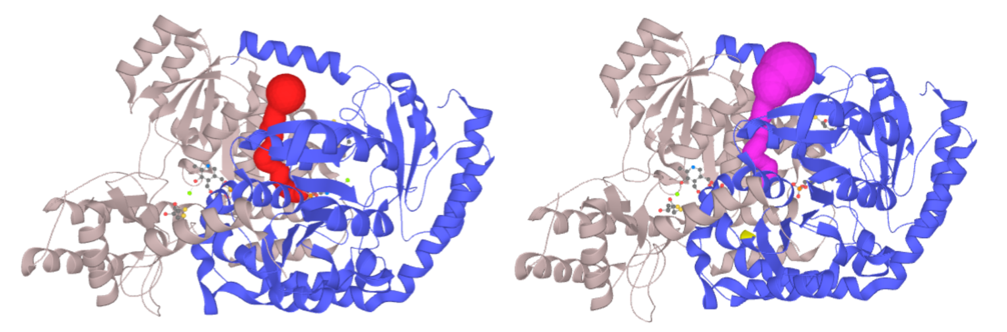 Left - Channel of PLP-dependent Acetyl-CoA transferase CqsA (PDB ID: 3KKI) ProbeRadius set to value 5. Right - ProbeRadius set to 20 showed overestimation of the parameter.