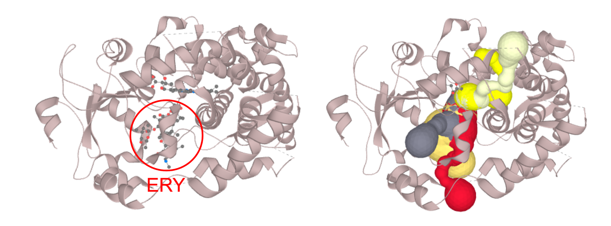 Structure of CYP3A4 with bound erythromycin (PDB ID: 2J0D; left) which is blocking the opening of the access channels. Discarding of the erythromycin molecule allows the proper calculation of access channels (right).